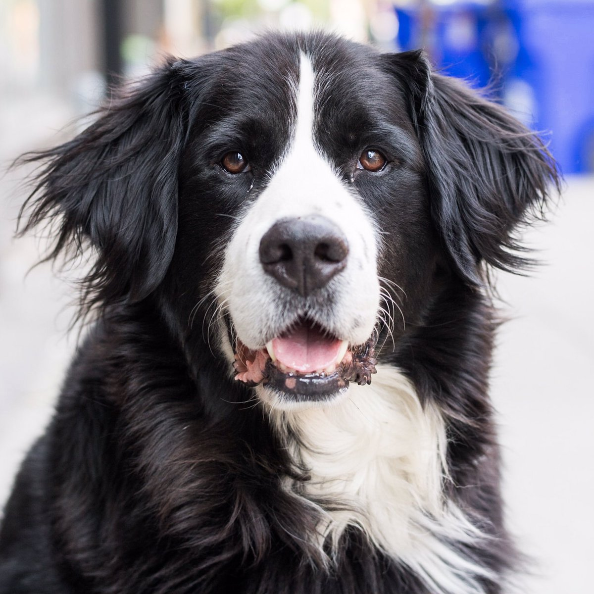 The Dogist On Twitter Crunch Bernese Mountain Dog