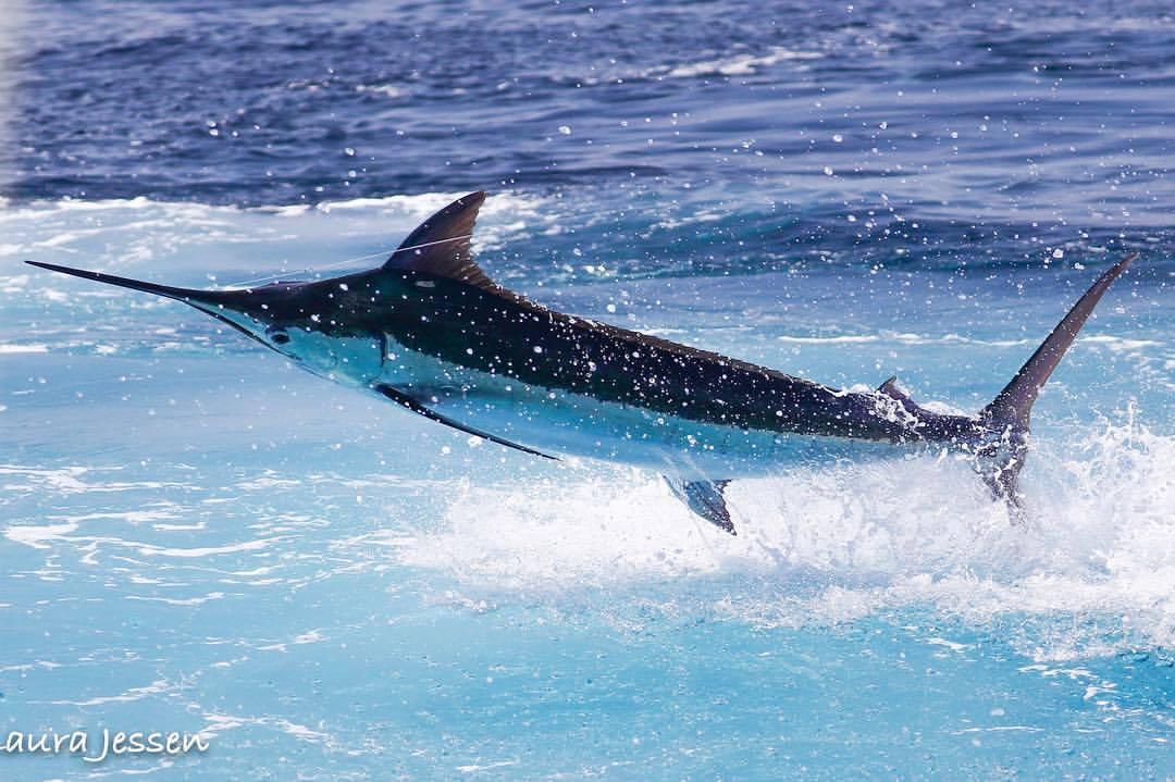 Nicaragua - Fish Tank went 24-32 on Sailfish and 1-3 on Blue Marlin. #BillfishADay