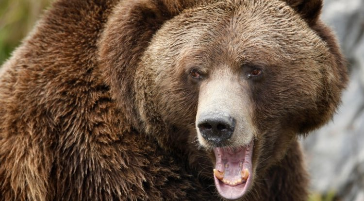 World renowned bear #scientist @AEDerocher speaks on #grizzlybear hunt ban &quot;It&#39;s easy to point at hunting, but hunting is not the problem&quot;<br>http://pic.twitter.com/AlfGbQrjoP