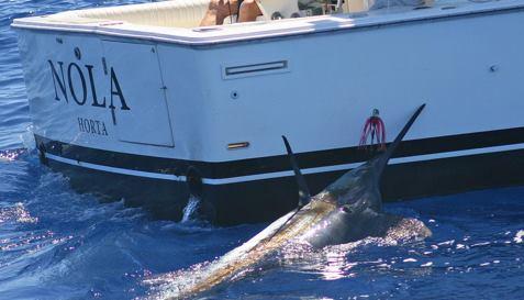 Azores - Nola released a Blue Marlin.