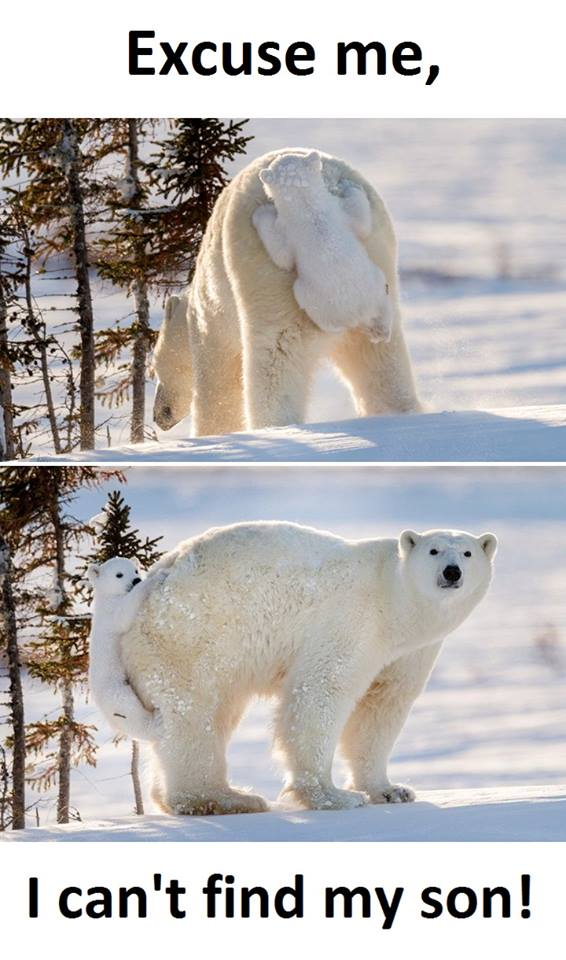 Excuse me, I can&#39;t find my cub? First I had to deal with #GlobalWarming and now this. Sucks to be a #polarbear Bear <br>http://pic.twitter.com/jKt2GAeHm2