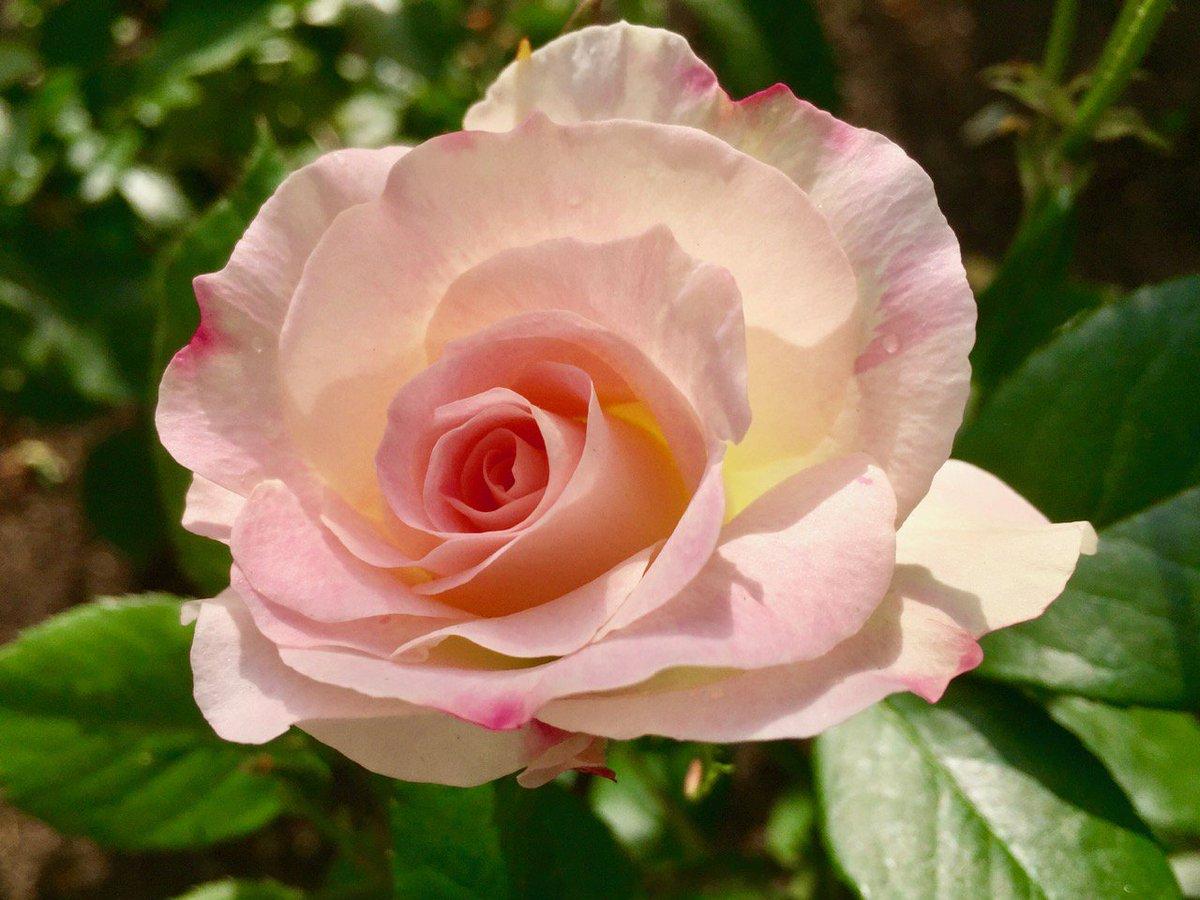 薔薇は「マチルダ」🌹 ( Rose  Matilda )  Good Afternoon ♪ 素敵な午後を ೫٭ॢ*⋆ෆ͙⃛೨(๑˘ᴗ˘๑)* 🍀
