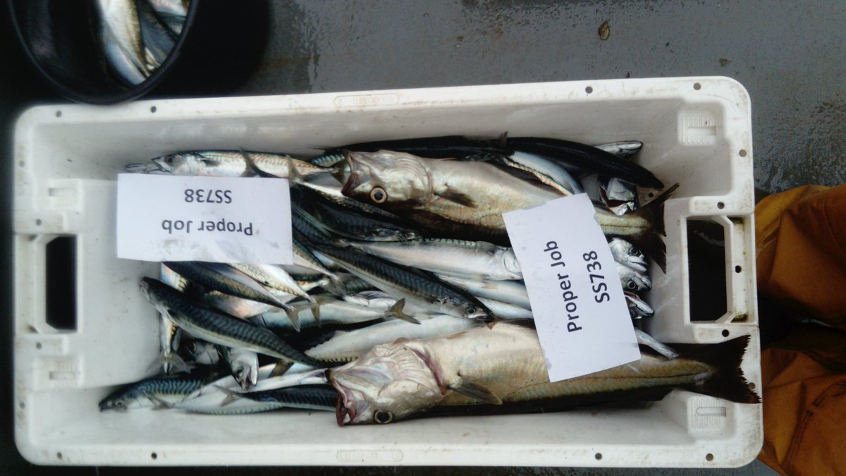 Few fresh handline mackerel this morning dropped in @TheSeafood still kicking, #freshfish #padstow #sustainable <br>http://pic.twitter.com/u2s7dc9kAY