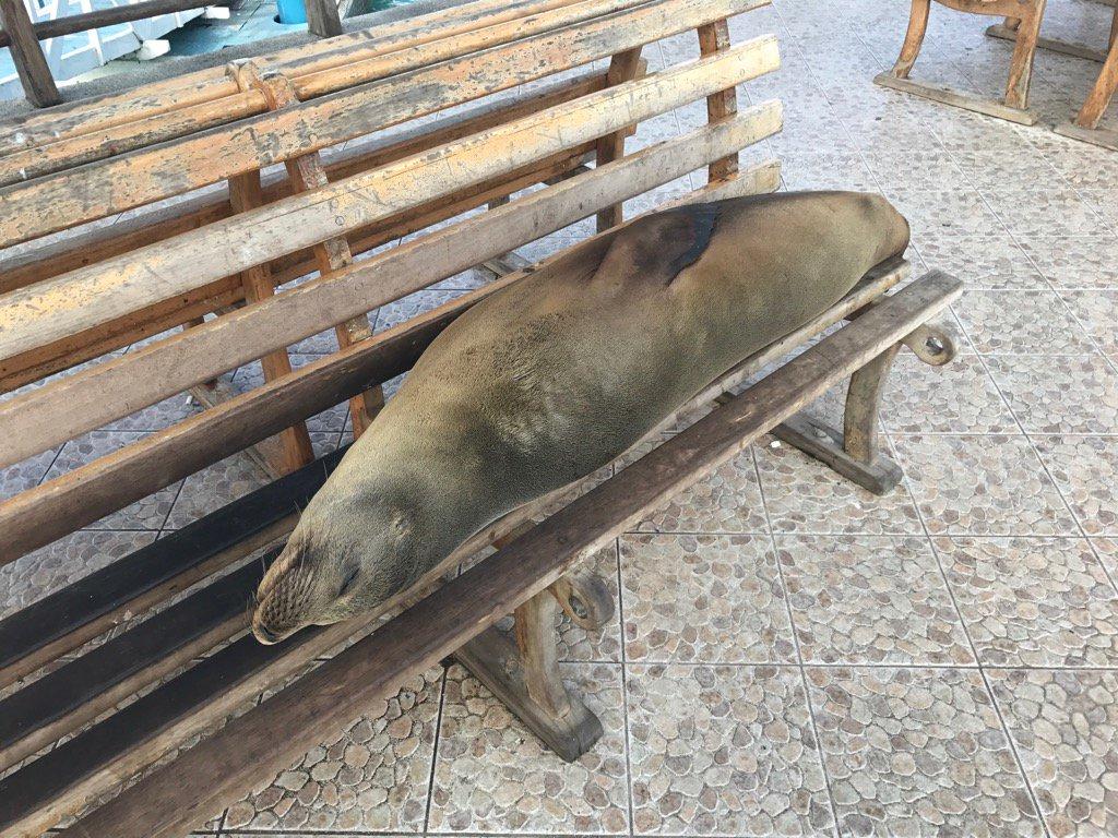 鰹節のよう。港のベンチで眠るガラパゴスアシカ。 https://t.co/IRs9KbCsBd