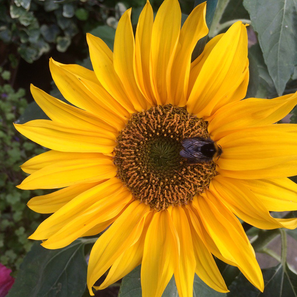 Sunflower to cheer you up if it&#39;s raining where you are too! #sunflower #cheerful<br>http://pic.twitter.com/jy5ynt6gwD