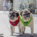 These aren't the pugs you're looking for.  Via https://t.co/S3OP6xIvYW