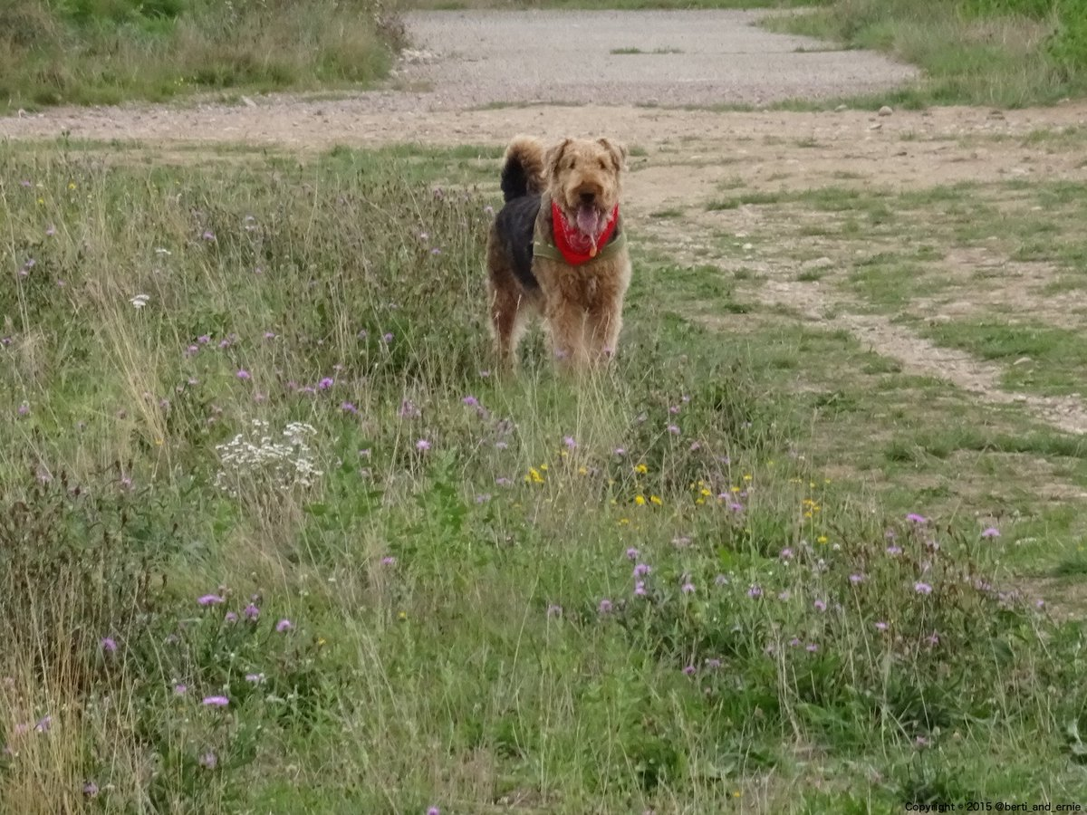 My #Airedale - always worth a #picture. <br>http://pic.twitter.com/LN7VAK3iOt