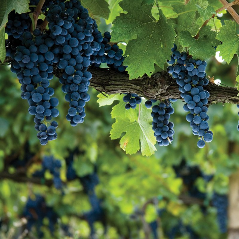 #Harvest season is coming... The best time to experience #Querciabella! Email visits@querciabella.com to book a tour &amp; tasting.<br>http://pic.twitter.com/Ov2Y7RZbor
