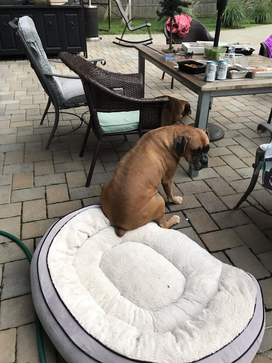 Apollo using his bed as a seat #boxers #boxerdogs<br>http://pic.twitter.com/u9CNuULwGs