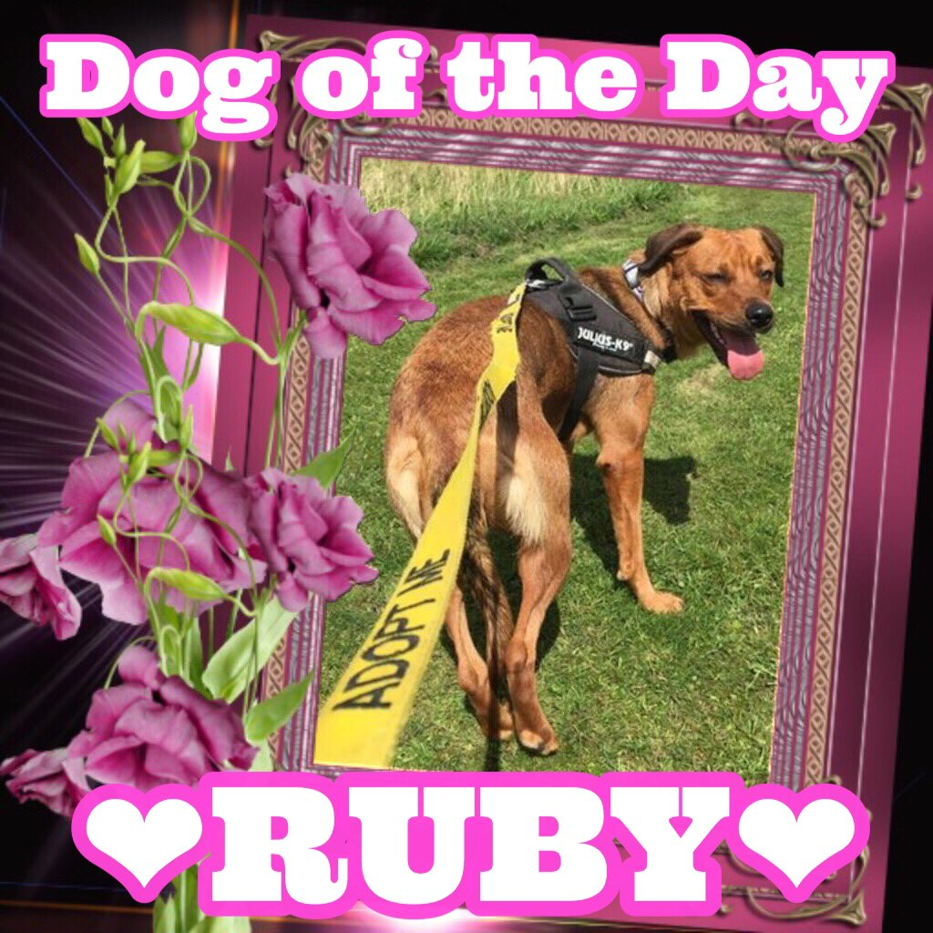 #dotd Ruby. She&#39;s around 1y old and needs a furever home #RescueDogs #AdoptMe #Yorkshire #dogsoftwitter #red #AdoptDontShop<br>http://pic.twitter.com/EVv0SuNUoo