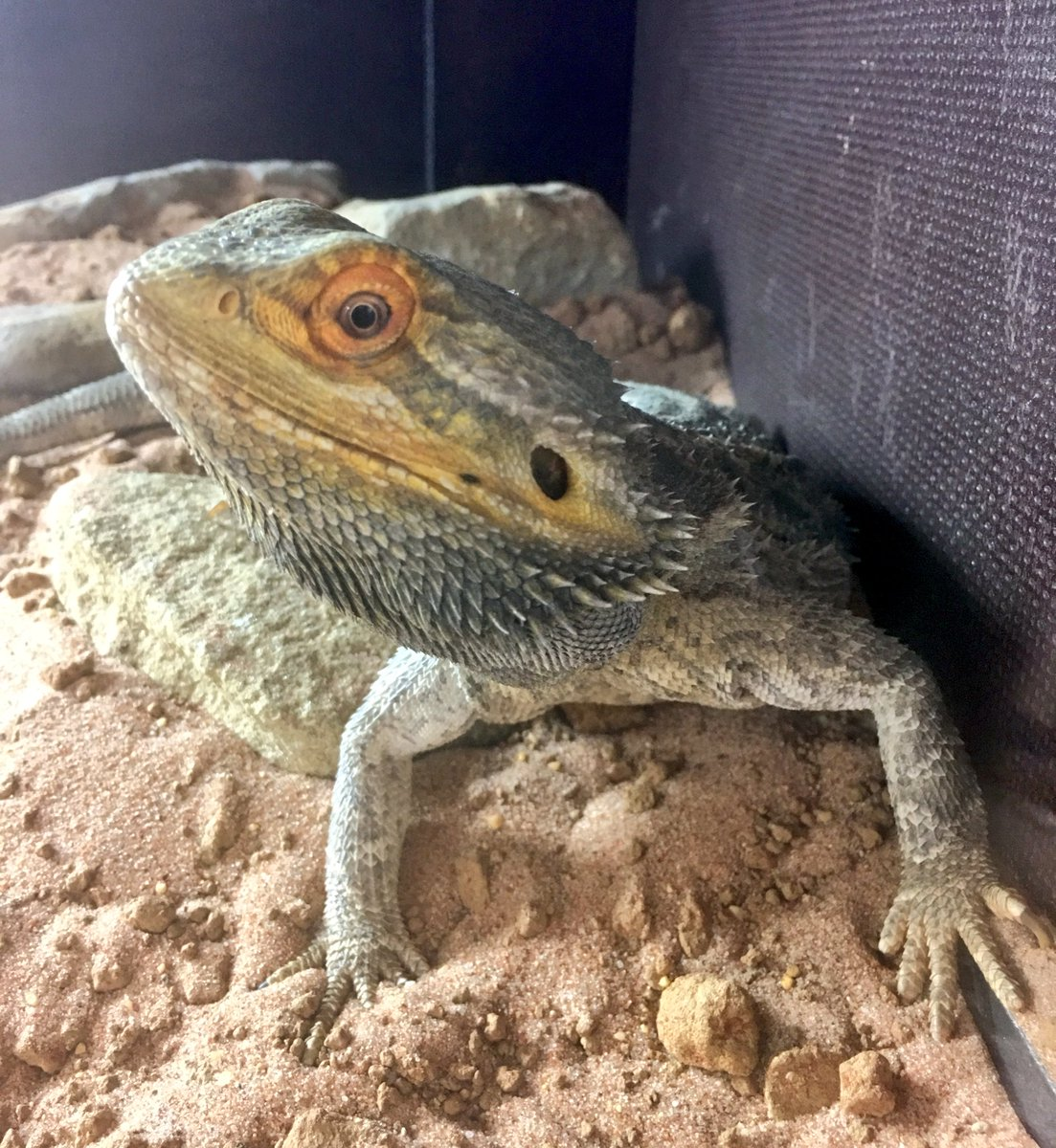 Come and meet the many and varied occupants of our new reptile and mini beast house #bearded dragon <br>http://pic.twitter.com/IsV0RgtQg8