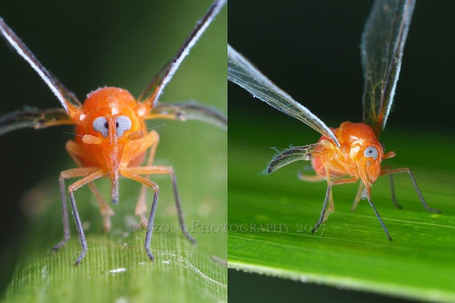 そしてススキと言えばやっぱり外せない、アカハネナガウンカ。この顔を一度見てしまったら忘れられず、毎年探す羽目になります。 夏のススキ野原は(虫的に)見どころがいっぱい。蒸暑いし、葉の縁がギザギザして痛いけど・・・ https://t.co/lyjcIe4gGn