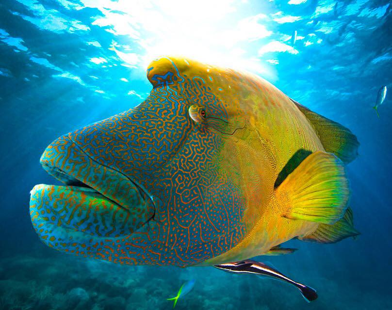 """Parley on Twitter: """"The humphead wrasse, a.k.a Napoleon ... 