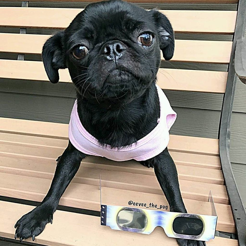 Thank you to @eevee_the_pug!⠀ ~~~ &quot;Are you ready for the #solareclipse  today?  ~~~⠀ #pug #puglife #puglove #b…  https://www. instagram.com/p/BYDhyang56K/  &nbsp;  <br>http://pic.twitter.com/1JB2tMbVbS