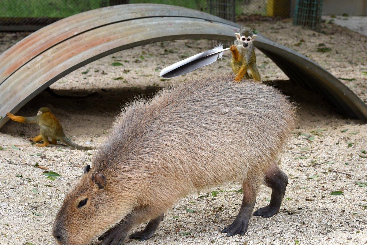 カピバラに乗りサイチョウの羽を持ってポーズをキメるリスザル、というよくわからない写真が撮れました。 pic.twitter.com/Snx1pzvBKW
