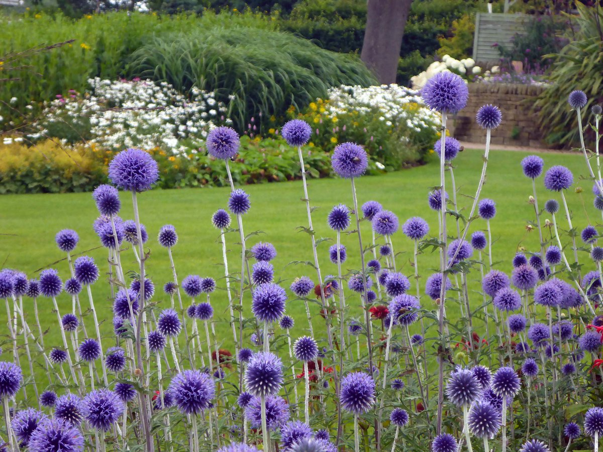The Rhs On Twitter Alliums Arent The Only Tall Spherical Purple