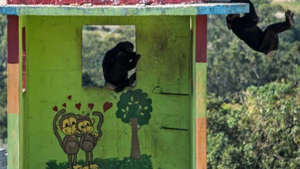 Love beckons for recovering chimp in Brazil refuge https://t.co/AmxBUY...
