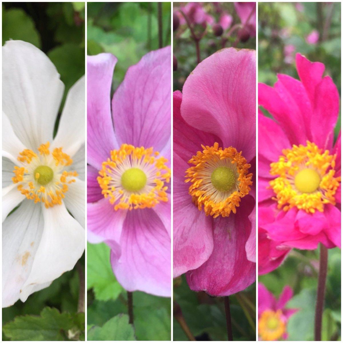 #Anemone line up. Honerine Jobert, Queen Charlotte, Praecox and Pamina. #summerflowers #gardenideas #AVlist<br>http://pic.twitter.com/0BwGHWPBaR