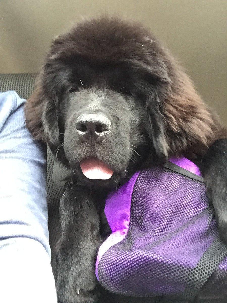 Emma on a roadtrip                                          #newfoundlanddog #newfoundland #dog #newfie #trip #puppy #pet #cute<br>http://pic.twitter.com/rZ7pRUKgqN