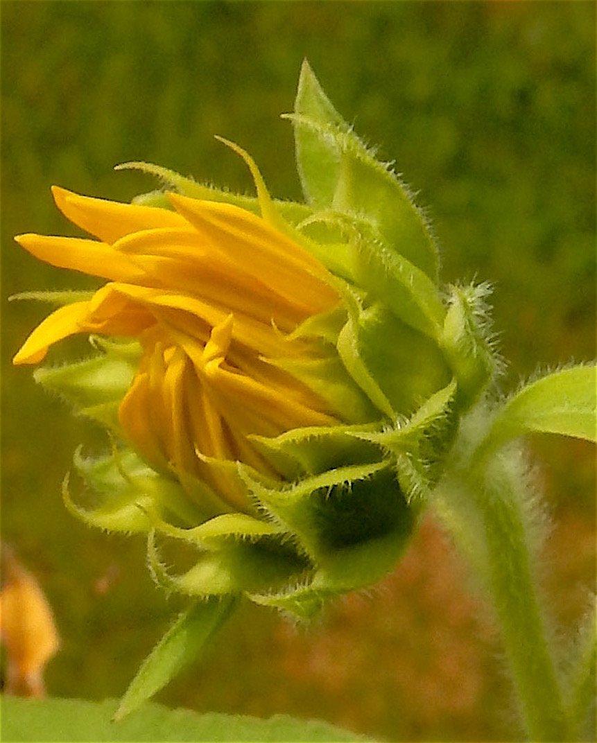 Budding sunflowers #sunflowers #summerflowers <br>http://pic.twitter.com/CdKUDTSmFS