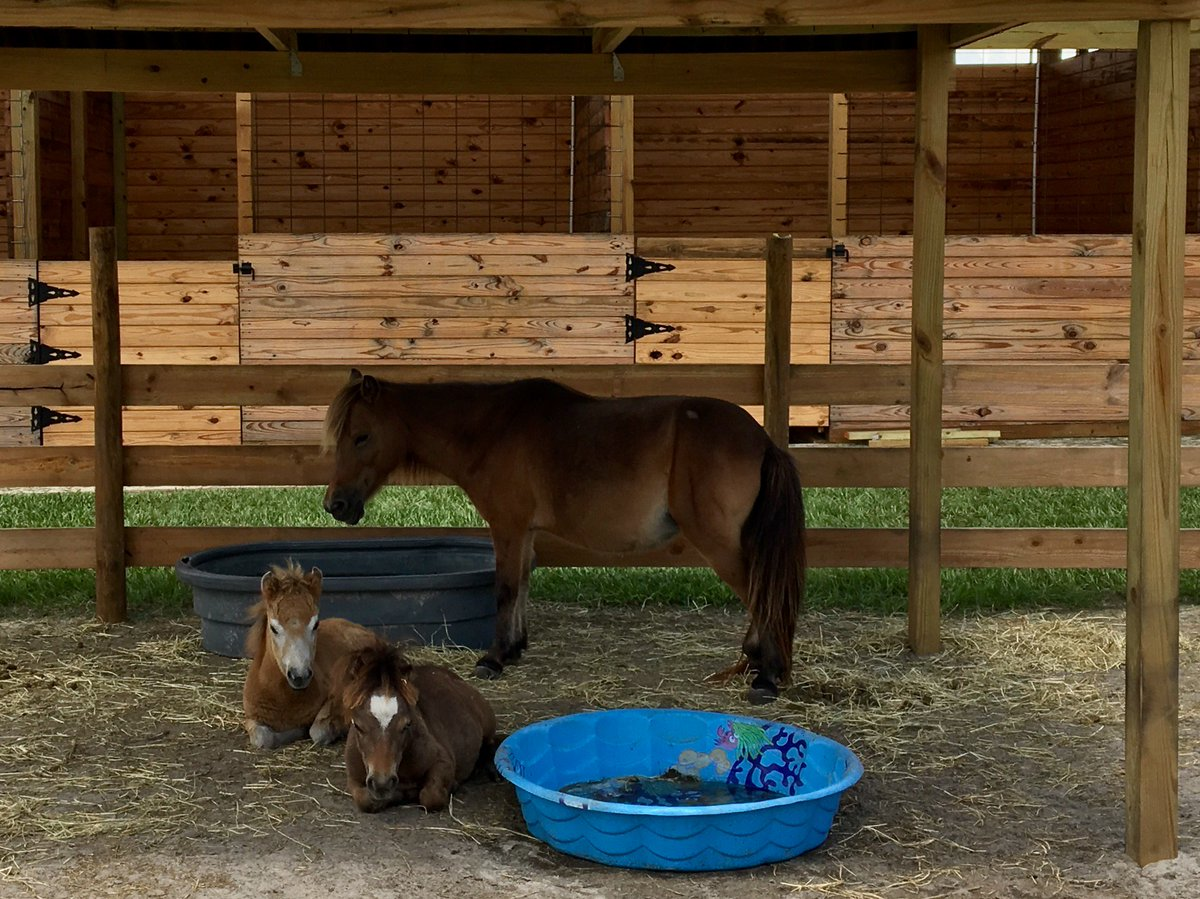#mini horses #blazing saddles ranch #adorable #Charlie Brown #cute horses #florida #pasco county #dade city<br>http://pic.twitter.com/v3Q2Yc6os7