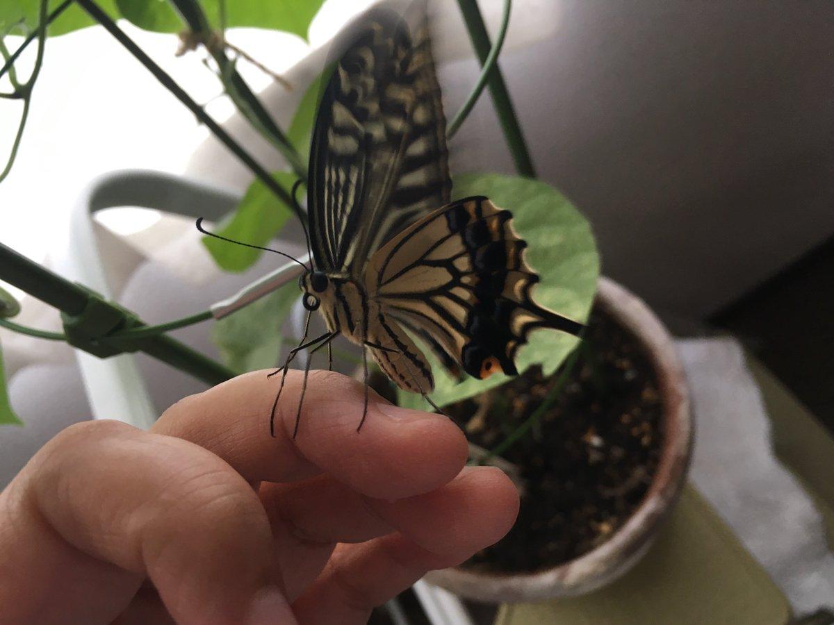 幼虫の頃から可愛がっていると、蝶になっても指に乗ってくる?ww