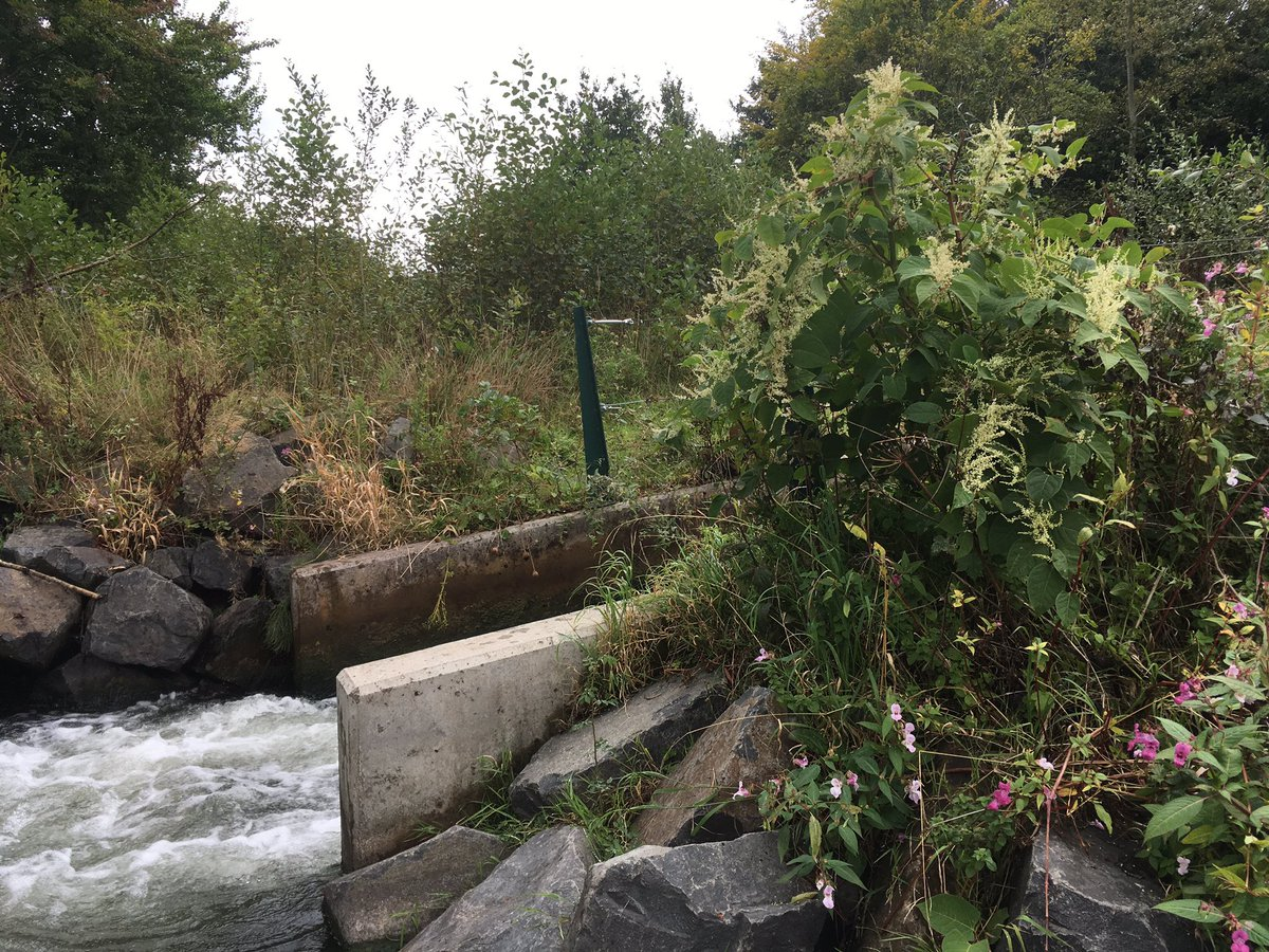 @severnrivers only thing I cannot sort immediately is the non native #JapaneseKnotweed sprouting from #Dinham #fishpass #checkcleandry <br>http://pic.twitter.com/BAZLmXth28