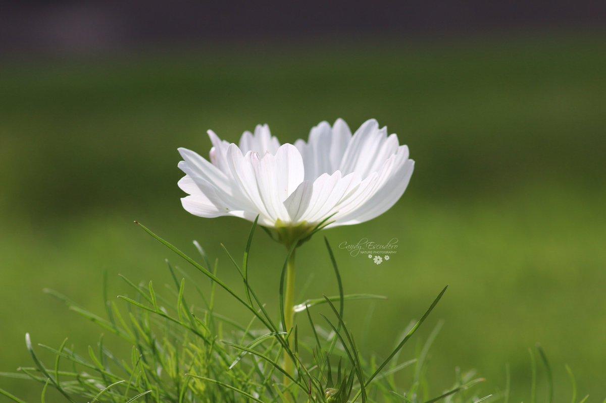Candalis escudero on twitter carmen alicia flor fleur flower flor fleur flower cosmo white pure peaceful nature macro dof summer nature faith naturelover love heaven httpstymmhft87yy mightylinksfo