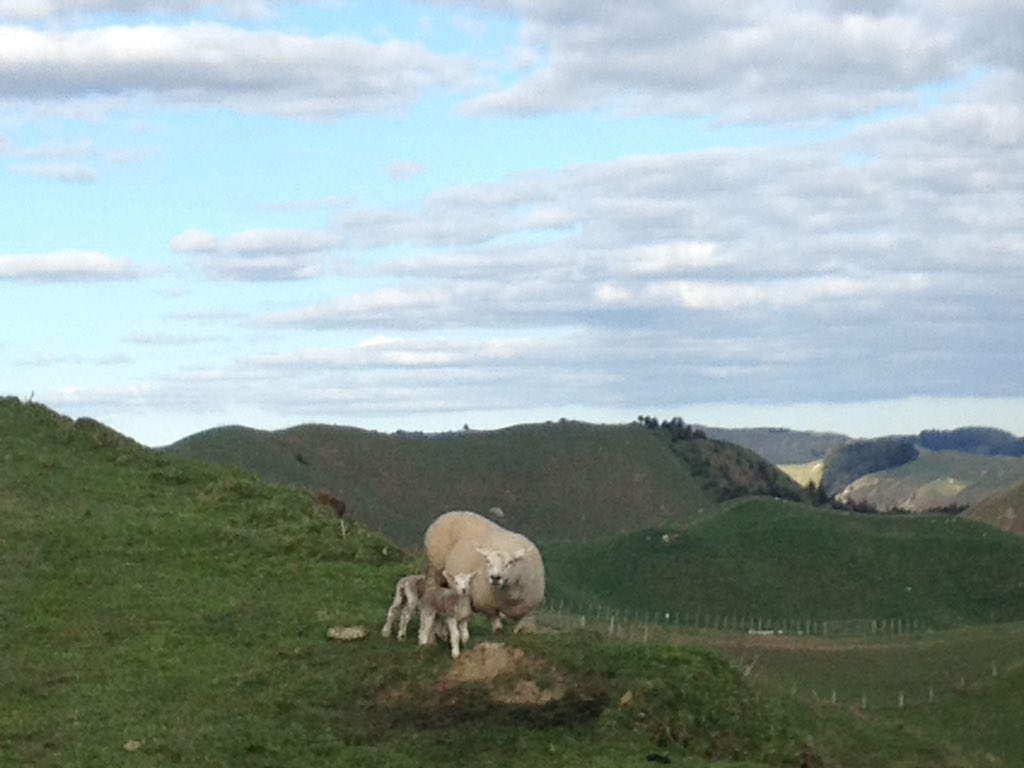 And so it begins!  #Lambing17 at #MangaRa Station.<br>http://pic.twitter.com/hSnfmR4nYV