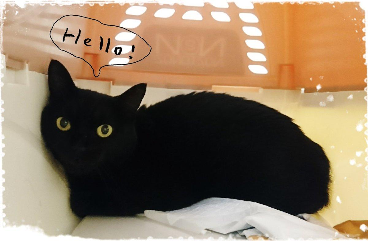 昨日、西表から黒猫が来ました。病院に到着直後に撮ったのでビビり顔ですが、人好きのおりこうさんです。早く里親さん見つけてあげたい!