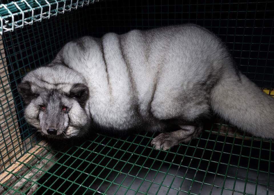Des renards gavés a mort pour des fourrures vendus à @gucci, @MichaelKors, @LouisVuitton ?! Moi je veux des fringues en peau de vos mères !
