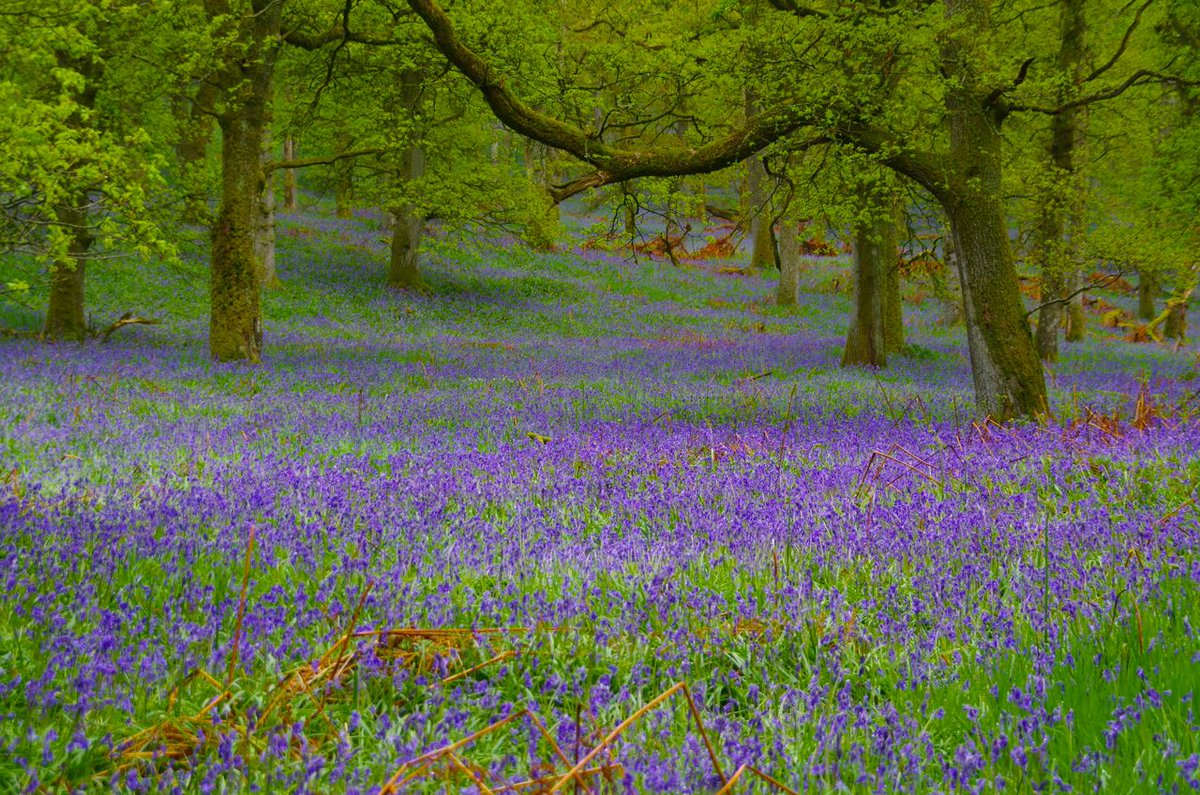 The Woodland Trust On Twitter A Blue Haze That Seems To Go On