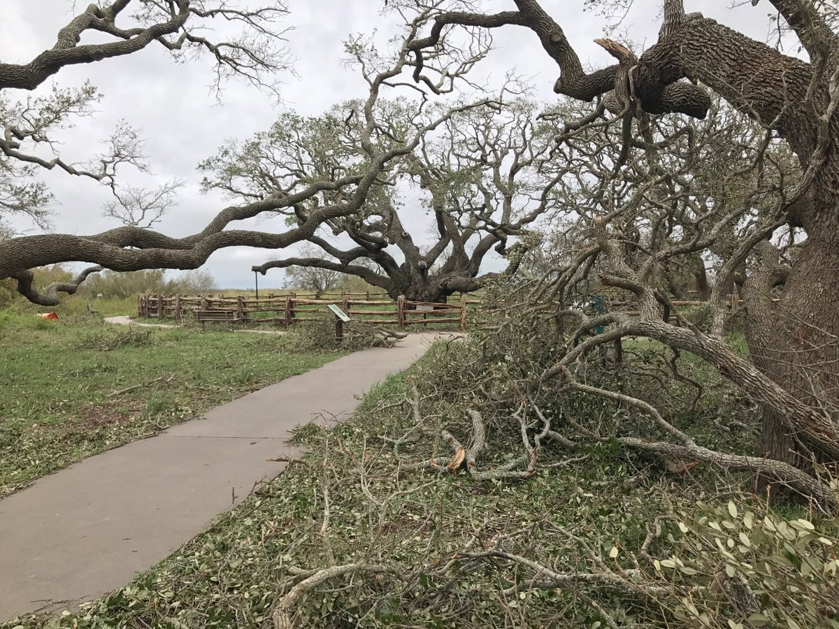1000+ yr old Big Tree at Goose Island State Park near #RockportTx survived #Harvey2017. Some younger trees down https://t.co/qqQAopQ2N2