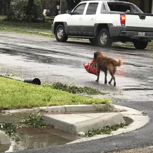 Furacão Harvey: cachorro carrega saco de ração pela rua https://t.co/YN60LIksjV
