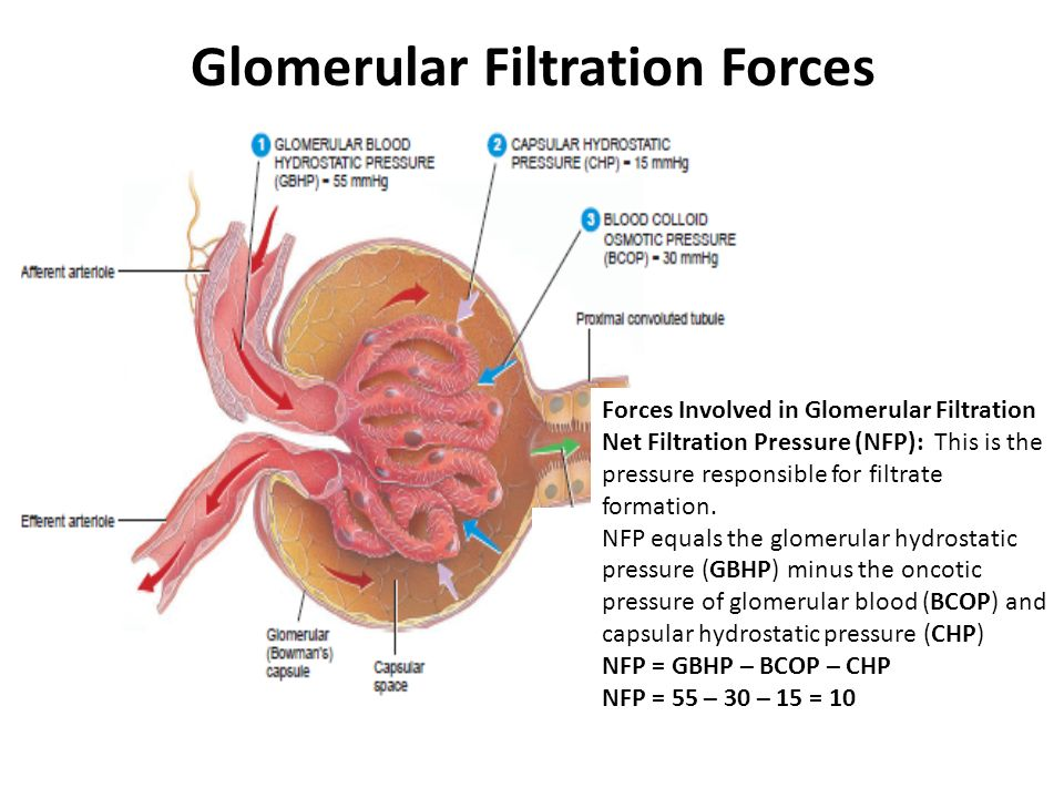 Kidney Filtration Choice Image - human anatomy organs diagram