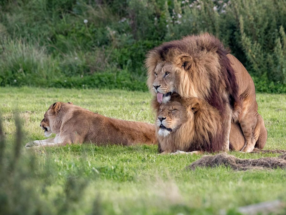 Two male lions pictured 'mating' while lioness looks on https://t.co/7gOgkPLBbc