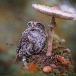 すごく癒されるキノコで雨宿りするフクロウ可愛すぎ