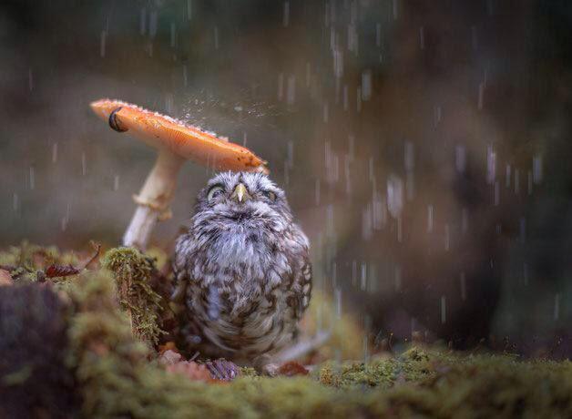 すごく癒されるwwキノコで雨宿りするフクロウ可愛すぎww