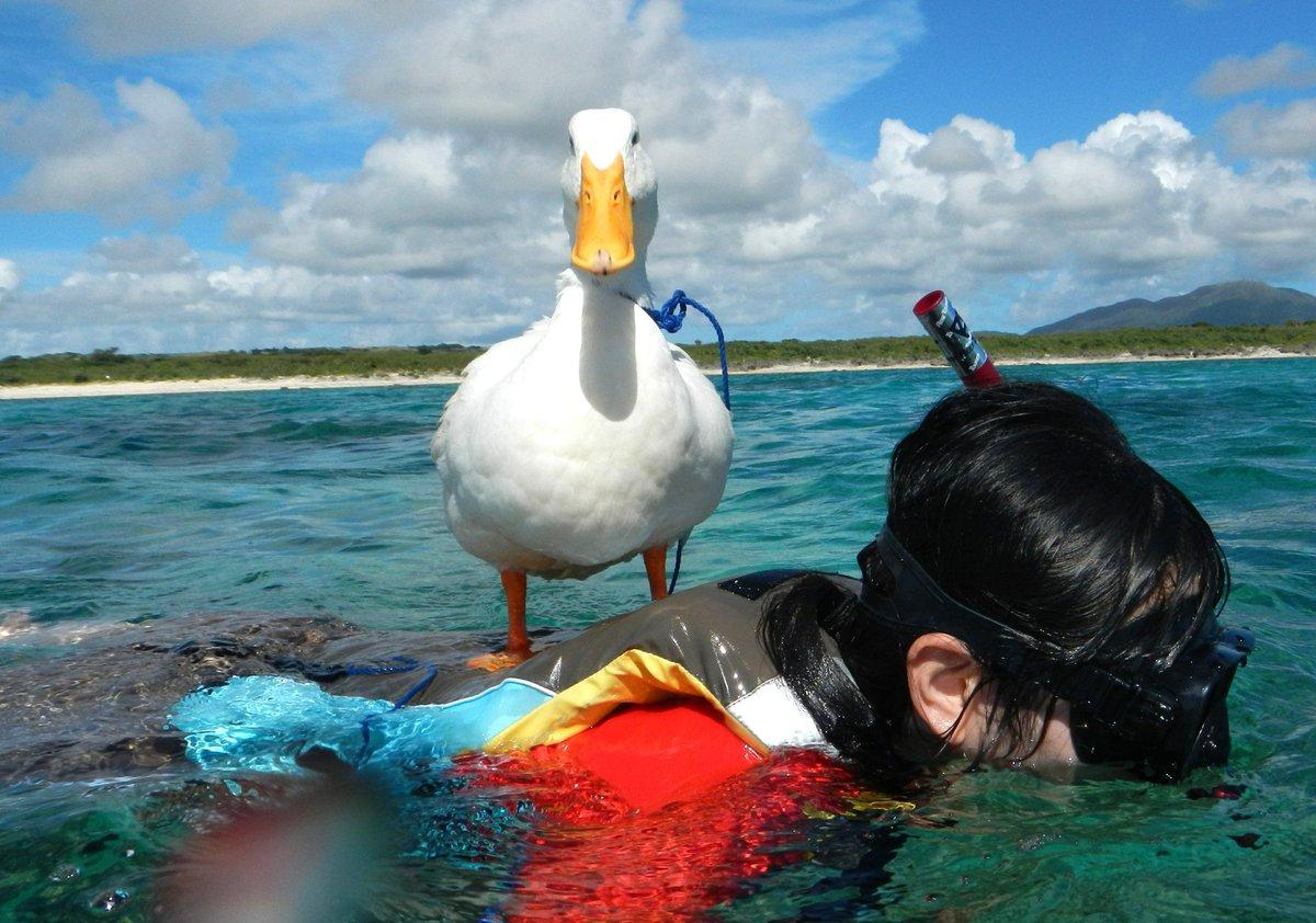 背中にアヒルを乗せて泳ぐ写真が届きました。 pic.twitter.com/zz5WG1Gusr