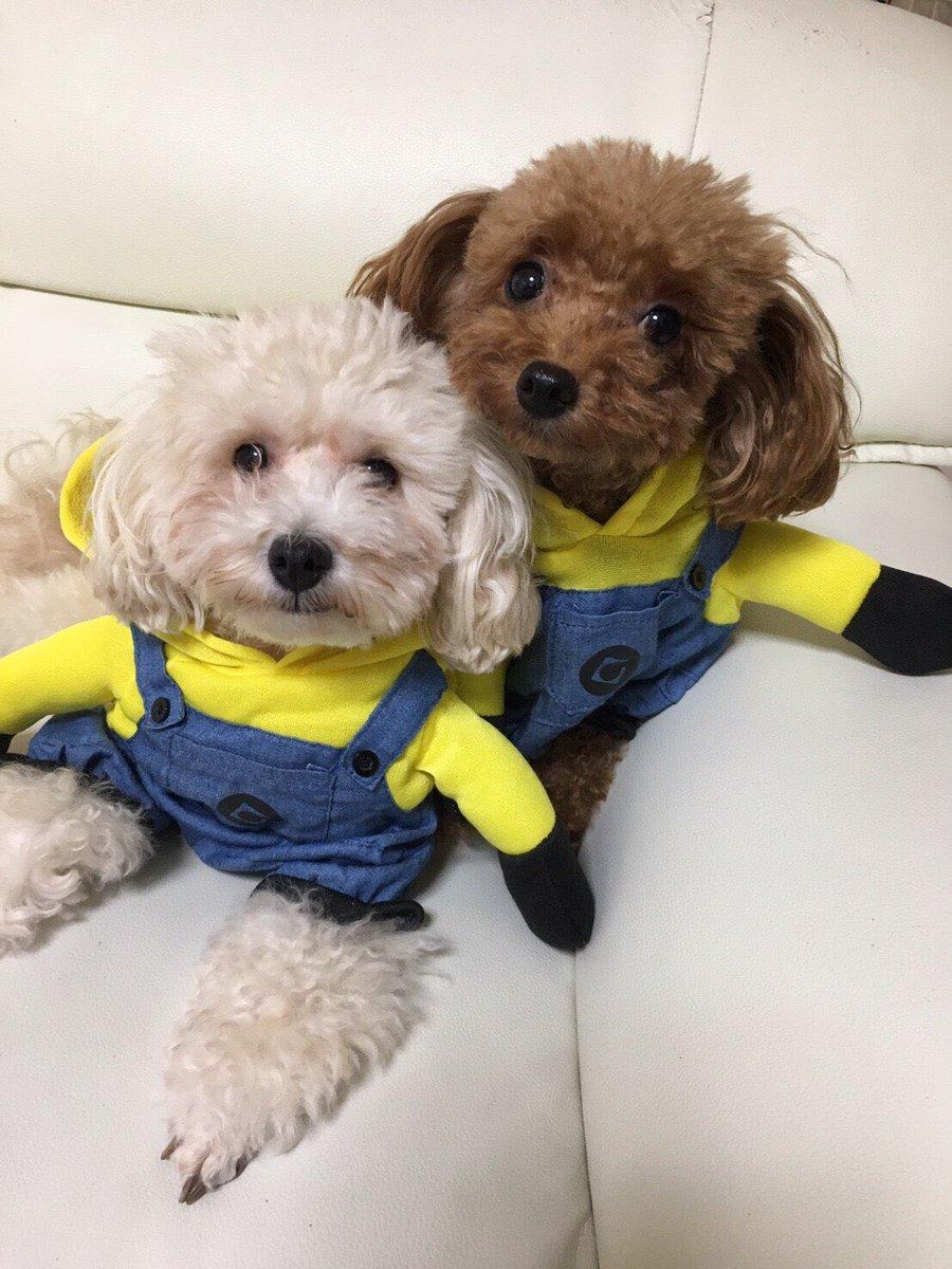 やまちゃん على تويتر うちのミニオンズ 犬 トイプー ミニオン