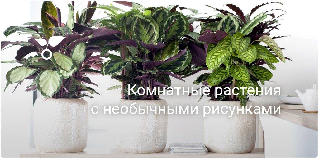 Комнатные растения с ягодами с фото