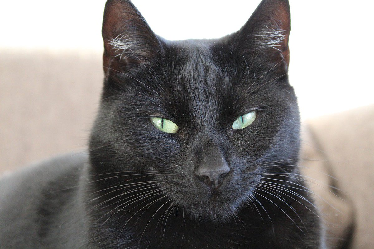 British and Irish sailors believed black cats would bring good, not bad, luck on a voyage #folklorethursday https://t.co/wJPSd9zf18