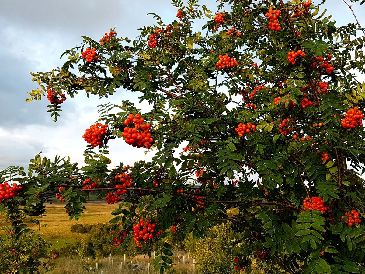 #Autumn is a-coming in the glen! #glamping #Cairngorms #rowantree #redberries<br>http://pic.twitter.com/mWYEyJGPar