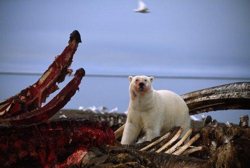 鯨の屍骸を貪るシロクマの図、構図として完璧すぎる
