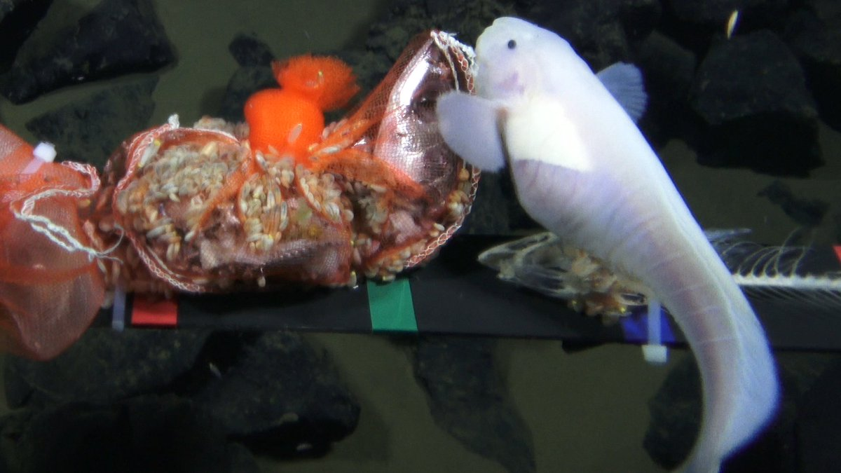 This Fish Lives Inside A Butt
