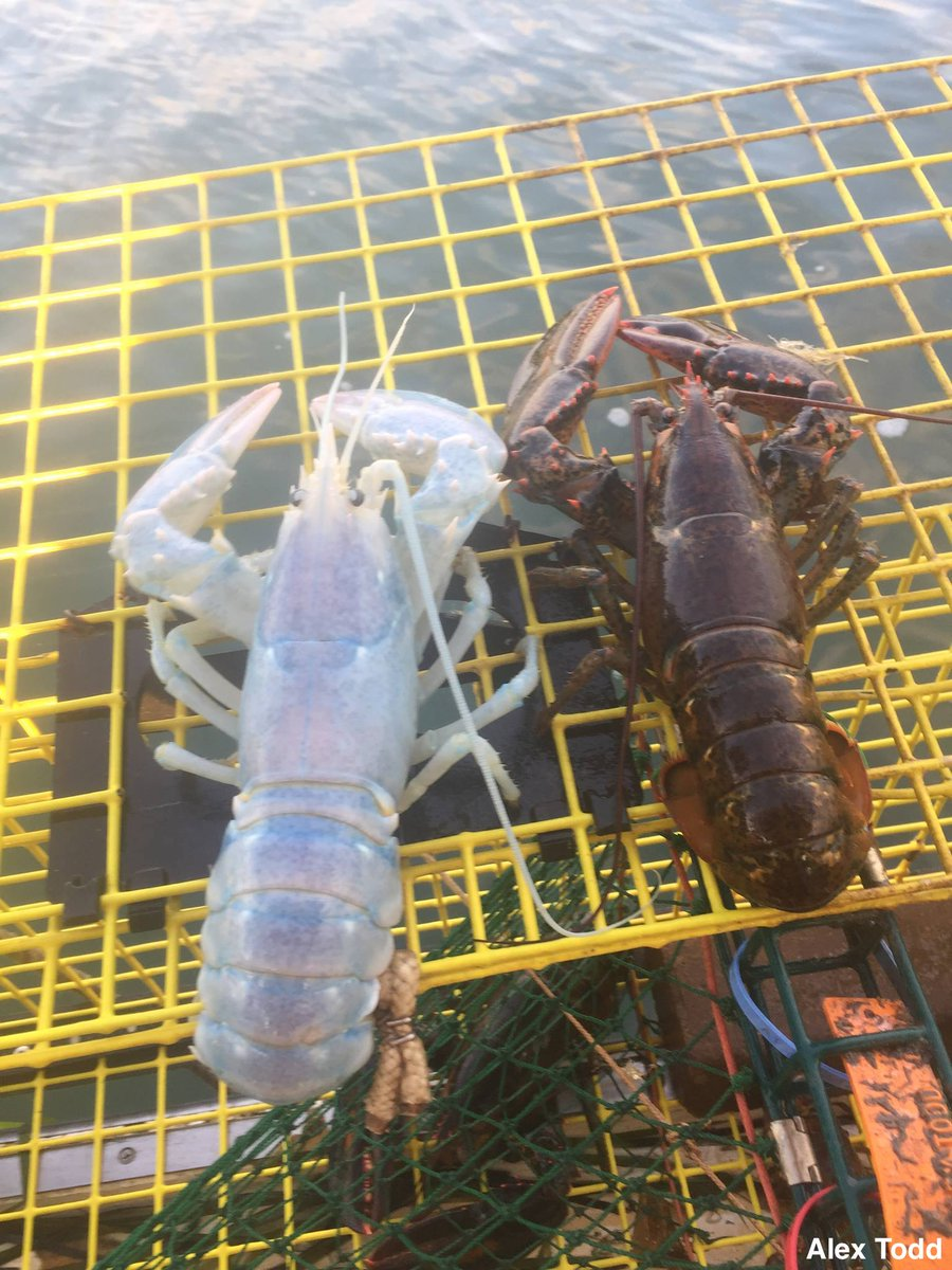 Rare white 'translucent' lobster caught by Maine fisherman who threw it back into ocean because it was female. https://t.co/vZlXajuHfd