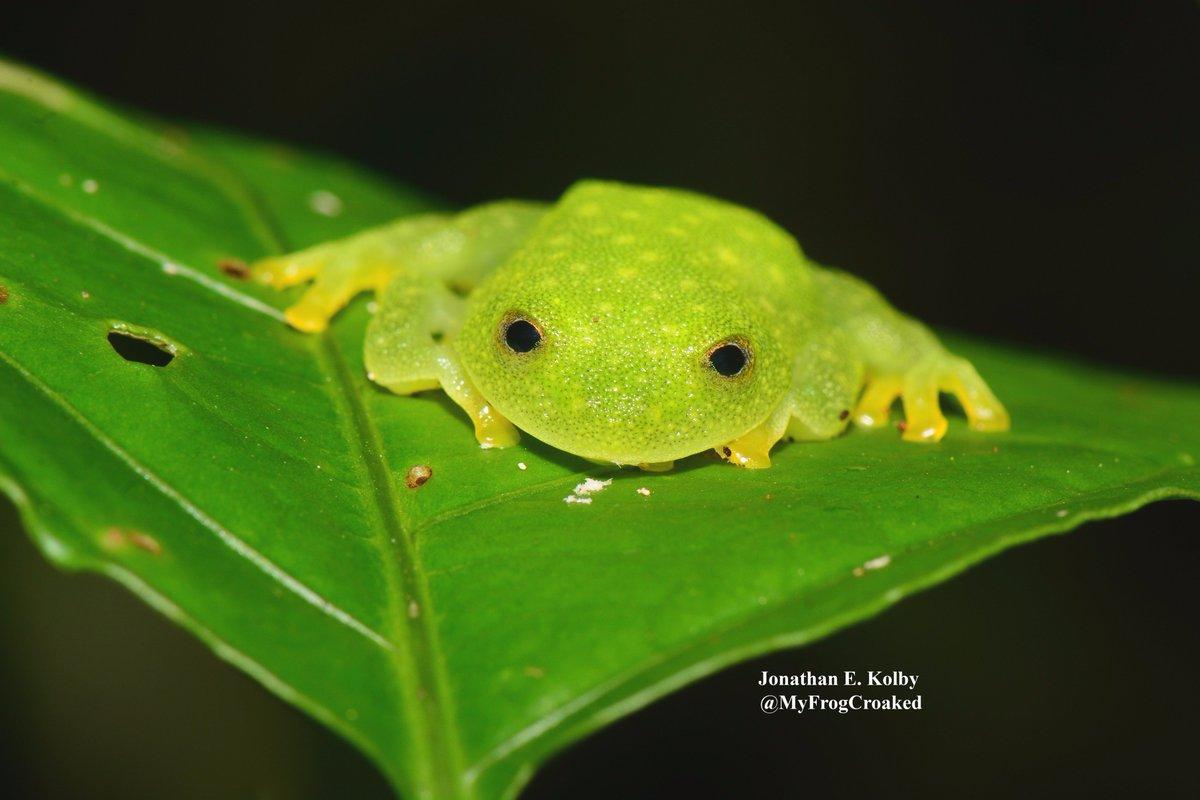 Happy #FrogFriday &amp; #LaborDayWeekend from #HARCC! This leaf w/eyes is a Glass #Frog (Hyalinobatrachium fleischmanni)  https://www. youtube.com/channel/UCf1gP 3ca2Ieybcr8azqQOwQ &nbsp; … <br>http://pic.twitter.com/0f04EbtRHP