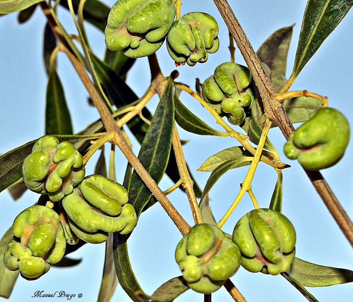 """Una variedad poco conocida de aceituna. Se conoce como """"Zarzamora"""". Seguro que vosotros conocéis con otro nombre."""