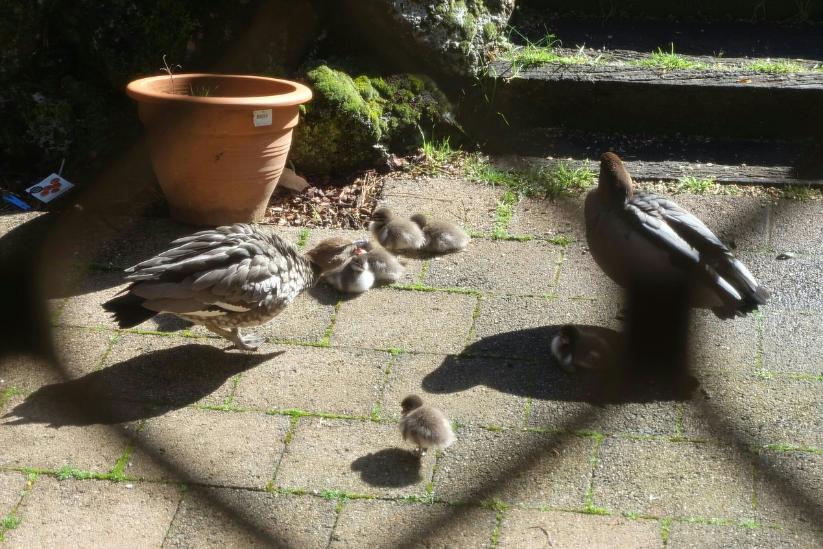 I guess now we know why (some of) our frequent visitors/wood ducks have been a bit MIA. #WoodDucks #nativeoz #birds #EmeraldVIC #ducklings<br>http://pic.twitter.com/VuzCCN9bZk