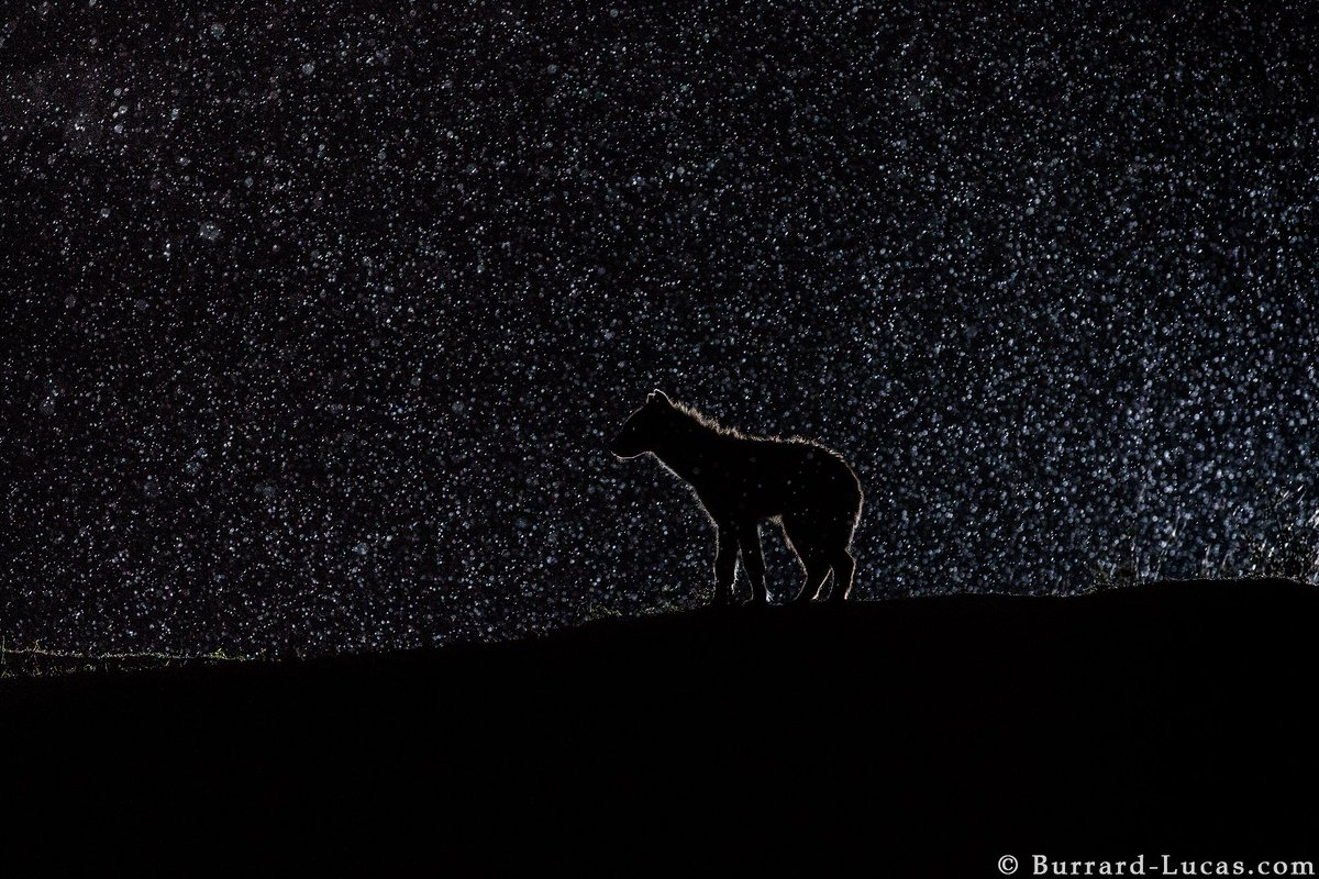 Hyena in the rain at night, photographed with a remote off-camera flash. https://t.co/GxxbpAdHrb